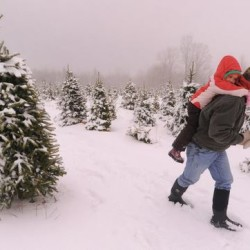 Christmas Tree Pruning Demonstration at the Law Farm