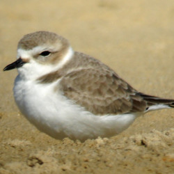 Shorebird identification is easy, unless it's not