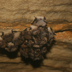 Abandoned bunker becomes bat hibernacula in northern Maine