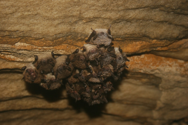 Little brown bats in Aeolus Cave, Vermont, in October of 2014.