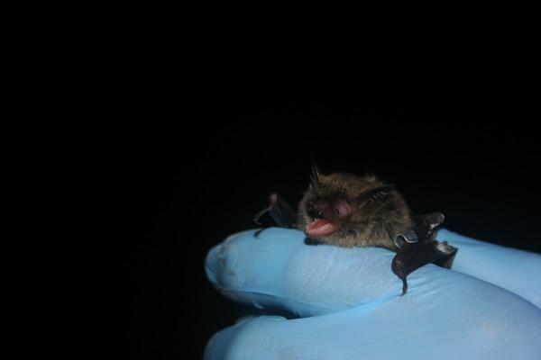 Given the rarity of northern long-eared bats, biologists were excited to catch and tag them on Oct. 2, 2014, in Vermont.