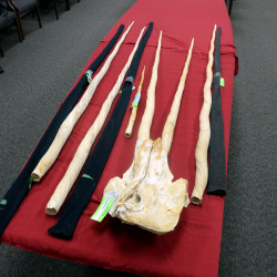Tenn. man to plead guilty to smuggling narwhal whale tusks in scheme run by ex-Mountie