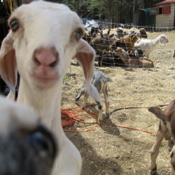 St. Albans farm's goat school gains fame, boosts tourism