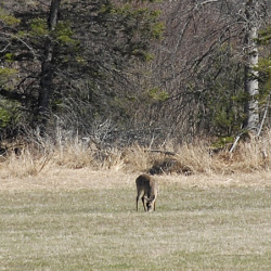 Yearling deer show signs of strength