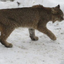 Woman hits bobcat, gives it a ride to downtown Bangor