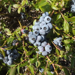 Eating berries may delay memory decline, research shows