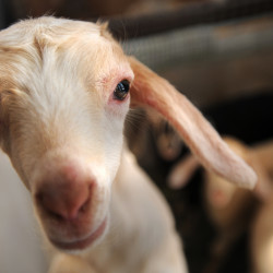 7 dead baby goats among 9 found in Sullivan