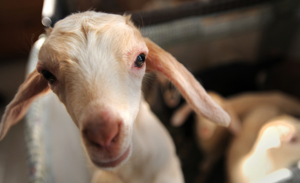 This is one of several kids born to goats that were rescued from an Aroostook County farm in December. They now live at the Peace Ridge Sanctuary in Penobscot. The animals were kept in an barn that had not been cleaned in years.