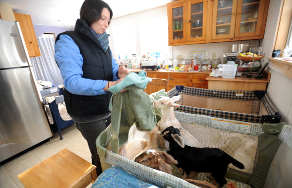 Daniella Tessier takes care of baby goats in the kitchen of her home at the Peace Ridge Sanctuary in Penobscot.