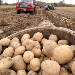 A barrel of Superior potatoes waits to be picked up during harvest at the Martin Farm in St. Francis last year.