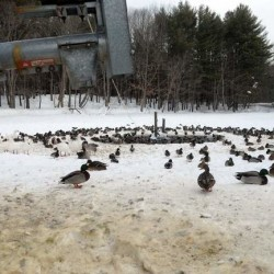 Residents feeding wild ducks may be creating problem in Houlton