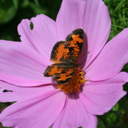 Many butterflies add color to the Maine landscape every spring