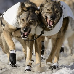 Dallas Seavey leads Iditarod mushers