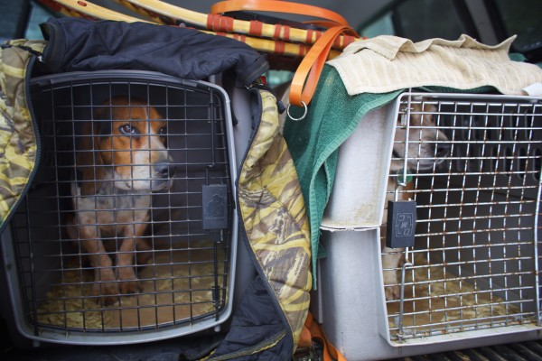From left, Chum and Scrap are beagles used by off-duty game warden Jim Fahey to hunt snowshoe hare in Maine. The dogs are transported to hunting areas in kennels in the back of Fahey's truck.