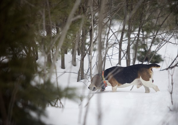 One of off-duty game warden Jim Fahey's dogs tracks a snowshoe hare in woods near his home just outside of Bangor.