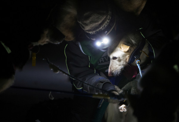 A musher cares for their dogs during the 2015 250-mile Can-Am Crown International dog sled race at the first check point at Portage Lake Saturday.