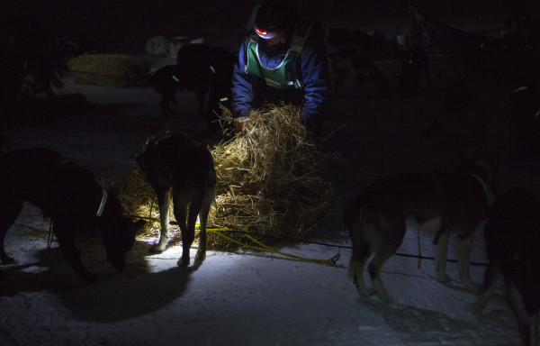Ashley Patterson lays hay for her Alaskan huskies during the 2015 250-mile Can-Am Crown International dog sled race at the first check point at Portage Lake Saturday.