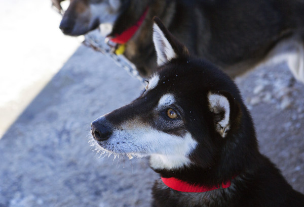 One of Ashley Patterson's Alaskan huskies waits for a treat before the start of the 250-mile Can-Am Crown International dog sled race starting in Fort Kent Saturday.