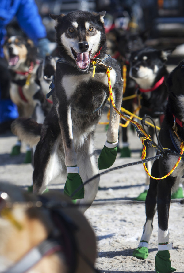 One of Ashley Patterson's Alaskan huskies leaps with excitement before the start of the 250-mile Can-Am Crown International dog sled race starting in Fort Kent Saturday.