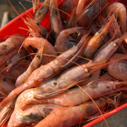 Shrimp fishermen push for later season start, more accurate count