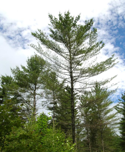 This white pine tree exhibits damage from a disease that causes needles to change color and drop off; it has lost a lot of needles in the section of the tree some distance below the crown.