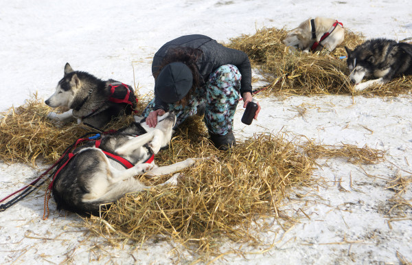 Becki Tucker checks her dogs at the third check point of the 250-mile Can-Am Crown International dog sled race at Syl-Ver on Sunday.