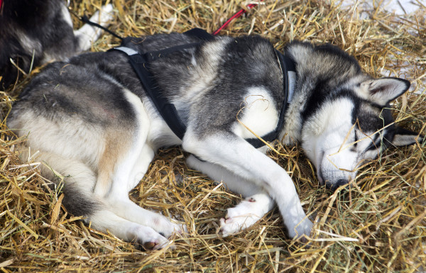 A sled dog takes a nap at the third check point of the 250-mile Can-Am Crown International dog sled race at Syl-Ver on Sunday.