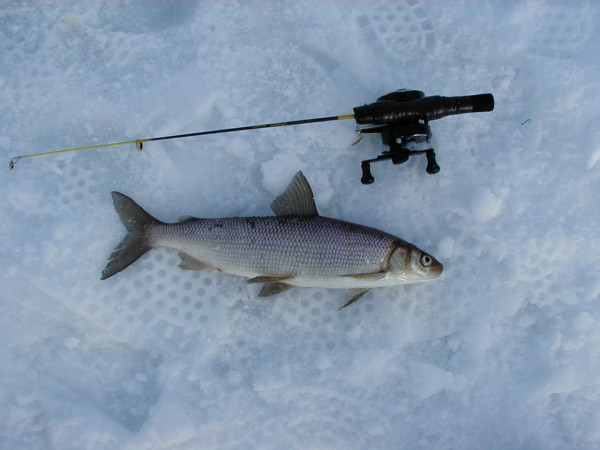 Jigging for lake whitefish can be fun, and you might even land a &quotlunker.&quot