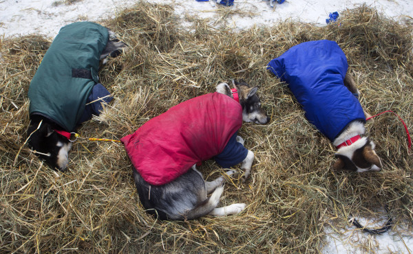 Ashley Patterson's dogs nap at the third check point of the 250-mile Can-Am Crown International dog sled race at Syl-Ver on Sunday.