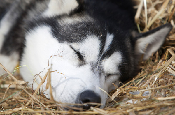 A dog naps at the third check point of the 250-mile Can-Am Crown International dog sled race at Syl-Ver on Sunday.