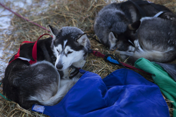Dogs rest up at the second check point of the 250-mile Can-Am Crown International dog sled race at Rocky Brook on Sunday.