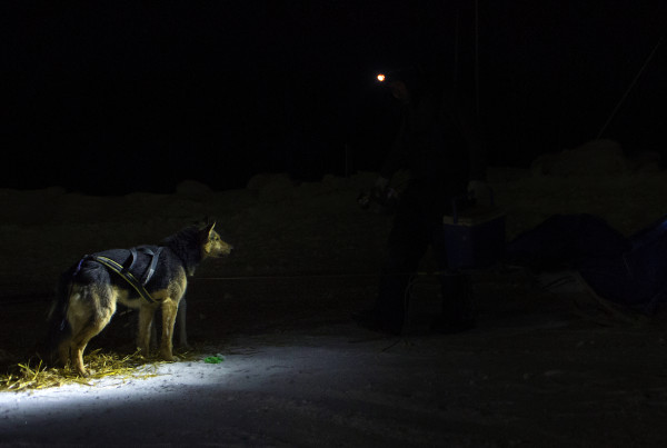 One of Denis Tremblay's dogs waits for food at the second check point of the 250-mile Can-Am Crown International dog sled race at Rocky Brook on Sunday.