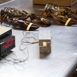 Lobster blood could be the next best thing to help treat warts, shingles