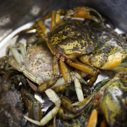 Maine bill would limit lobster bait alternatives