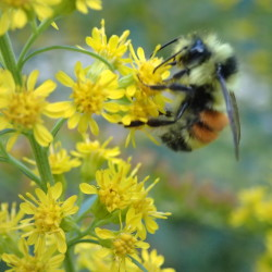 Orange-belted bumblebee on goldenrod.