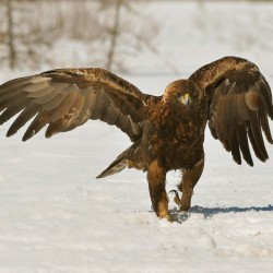 Chance to observe eagle is worth chilly wait