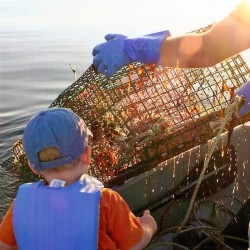 Veterans and novices are shellbent for victory in lobster picking battle