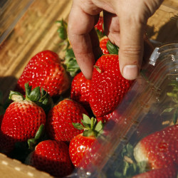 Recommended varieties of June-bearing strawberries