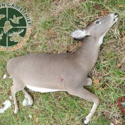 Poachers kill two deer in St. Albans