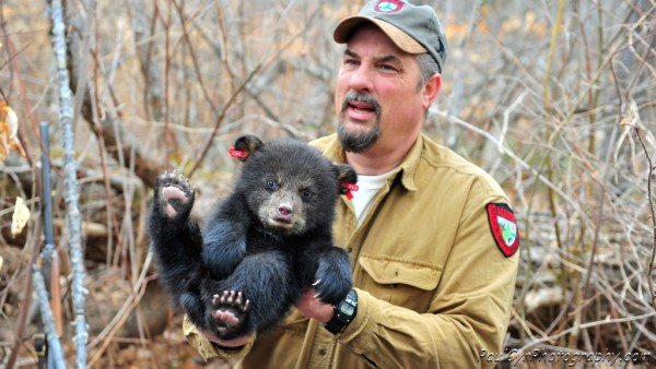 Biologist Randy Cross holds Kel, a great-great-granddaughter of Sara the bear, another descendant that is wearing a radio collar as part of the Maine Department of Inland Fisheries and Wildlife's ongoing bear research project.