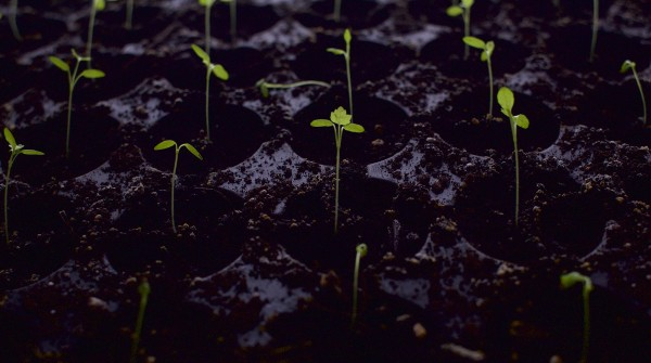 Seedlings grow at Snakeroot Organic Farm in Pittsfield recently.