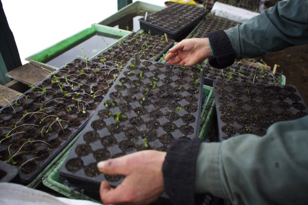 Snakeroot Organic Farm owner Tom Roberts moves seedlings out of the water in Pittsfield recently.