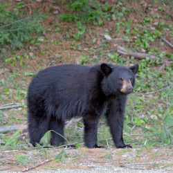Hunters: Spare a bear tooth for science, state requests