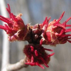 Maple flowers - harbinger of Spring