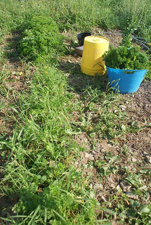 Parsley grows on Fussing Duck Farm in Corinth.