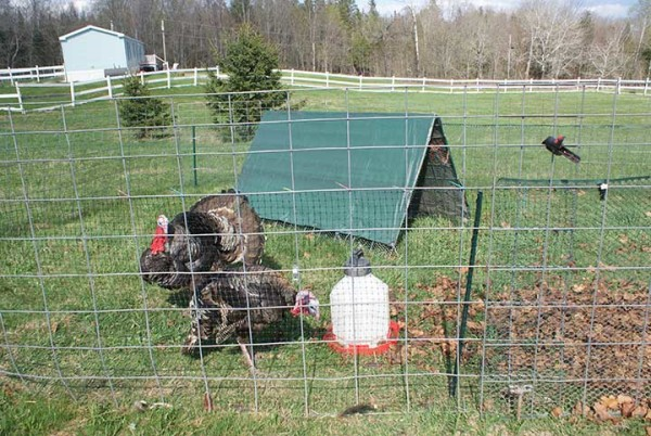 Turkeys amble about on Fussing Duck Farm in Corinth.