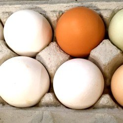 From white to green to brown, colored eggs at Menagerie Farm in Vasselboro are organic and fresh.