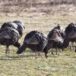 Restocking of wild turkeys a national success story, though Maine sees complaints as birds return