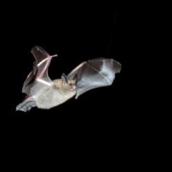 Antibodies point to bat bite survival