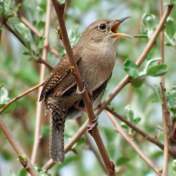 Three wren species in a week a great thing to see